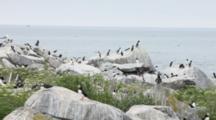 Atlantic Puffins And Razorbills On Machias Seal Island Off The Coast Of Cutler, Maine, USA