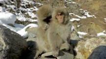 Nagano, Japan. An Adult Japanese Macaque Grooms Its Baby, And Another Baby Enters Frame.