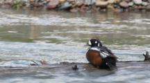 Male Harlequin Duck In McDonald Creek In Glacier National Park, Montana, USA