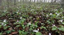 Trillium Wildflowers Carpet The Hardwood Forest Floor Near Defiance, Ohio, USA