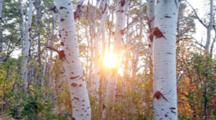 Morning Sun Rises Through Stand Of Quaking Aspen Trees In Glacier National Park, Montana, USA