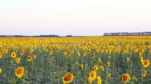 AMTRAK Passenger Train Passes By Field Of Sunflowers At Dawn In Michigan, North Dakota, USA