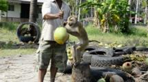 Thailand, Island Of Ko Samui (Aka Koh Samui). Coconut Plantation, Macaque Monkeys Are Trained To Drop Coconuts From Tree 10 Times Faster Than Human. Monkey With Trainer Teaching Him To Spin Coconut. (UR)