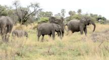 Pre Birth Elephant Herd Behavior