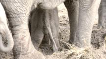 Adult And Juvenile Elephants Help Baby Rise