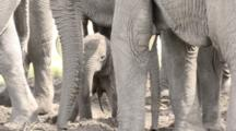 Baby Elephant First Time Standing