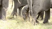 Newborn Baby Elephant Movers Out With Herd