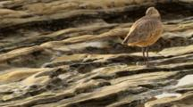Shorebird, Marbled Godwit, In Tidal Rocks Along The Rocky Coast Of Crystal Cove, California, North Of Laguna Beach. Pacific Ocean.