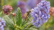 Golden Polistes Wasp Feeding On Pollen From California Lilac (Ceonothus Sp.), Palos Verdes, CA.