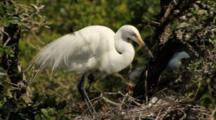 Great Egret On Nest In Rookery, Northeastern Florida (Alligator Farm, St. Augustine)