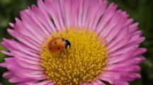Ladybird Beetle On Seaside Daisy Flower, Native Plants Garden, Lomita, CA