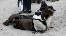 Boulders Beach, South Africa. Full Shot Of Adult African Penguin With Five Juveniles.
