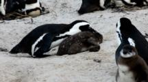 Boulders Beach, South Africa. Full Shot Of Adult African Penguin Grabbing Juvenile By The Neck And Tossing Around.