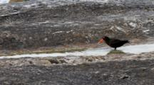 Boulders Beach, South Africa. Full Shot Of African Black Oystercatcher Bathing On The Rocks.