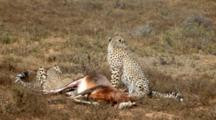 Port Elizabeth, South Africa. Full Shot Of Two Juvenile Cheetahs And Their Mother Eating A Dead Kudu.