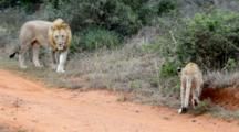 Port Elizabeth, South Africa. A Lion Cub Jumps On Its Father Alongside The Road.