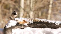 USA, Colorado, Frisco. Mountain Chickadee (Poecile Gambeli) Feeding On Peanut Butter.