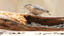USA, Colorado, Frisco. Pygmy Nuthatch (Sitta Pygmaea) Feeding On Peanut Butter.