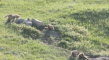 Red Fox Pups At Den Site In Mission Valley, Montana, USA