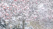 Heavy Snowfall In Front Of Mountain Ash Trees In Whitefish, Montana, USA