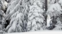 WA, Mount Rainier National Park, Snow Covered Fir Trees (Still Image Pan)