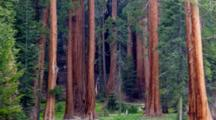 CA, Sequoia NP, Round Meadow, Giant Sequoia Trees (Still Image Pan)
