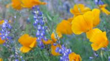 AZ, Arizona, Organ Pipe Cactus National Monument, Mexican Poppies, Arroyo Lupine, And Saguaro Cactus (Still Image Pan)