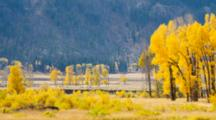 WY, Yellowstone National Park, Lamar Valley, Cottonwood Trees (Still Image Pan)