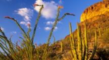 AZ, Organ Pipe Cactus NM, Organ Pipe Cactus With With Ocotillo (Still Image Zoom)