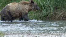 USA, Alaska, Dyea.  Grizzly Bear Running Through River Fishing For Salmon.