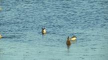 USA, Oregon, Ankeny National Wildlife Refuge, Mallards (Anas Plathyrhynchos) And Northern Pintail Hens (Anas Acuta) Feeding
