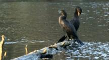 USA, Oregon, Portland, Crystal Springs Rhododendron Garden, Two Double-Crested Cormorants Resting, Phalacrocorax Auritus