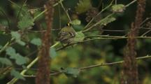 USA, Washington, Deception Pass State Park, Female Golden-Crowned Kinglet, Regulus Satrapa