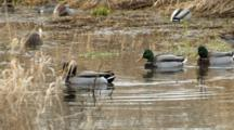 USA, Oregon, Baskett Slough National Wildlife Refuge, Mallards, Anas Plathyrhynchos, And Northern Pintails, Anas Acuta, Feeding, Video Ends With A Mallard Drake Chasing Another
