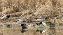 USA, Oregon, Baskett Slough National Wildlife Refuge, Group Of Northern Pintail, Anas Acuta, And Mallards, Anas Plathyrhynchos, Preening