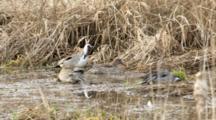 USA, Oregon, Baskett Slough National Wildlife Refuge, Northern Pintail, Anas Acuta, Feeding