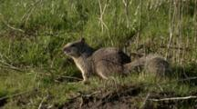 USA, Oregon, Baskett Slough National Wildlife Refuge, California Ground Squirrel, Otoseermophilus Beecheyi