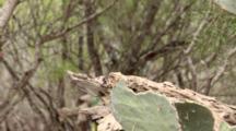 USA, Texas, Lower Rio Grande Valley, Green Jay, Cyancorax Yncas