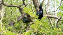 USA, Texas, Laguna Atascosa National Wildlife Refuge, Great-Tailed Grackle Quiscalus Mexicanus, Displaying