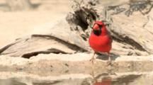 USA, Texas, Lower Rio Grande Valley, Northern Cardinal, Cardinalis Cardinalis