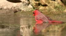 USA, Texas, Lower Rio Grande Valley, Male Northern Cardinal Bathing, Cardinalis Cardinalis