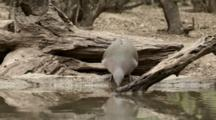 USA, Texas, Lower Rio Grande Valley, White-Tipped Dove (Leptotila Verreauxi)