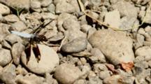 USA, Oregon, Albany, Freeway Lakes Park, Common Whitetail, (Plathemis Lydia)