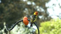 USA, Oregon, Keizer, Western Tanager, (Piranga Ludoviciana), Male, Feeding On Oranges In Backyard