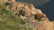 USA, Colorado, Rocky Mountain National Park, Yellow-Bellied Marmots Courting (Marmota Flaviventris)