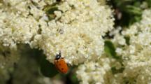 Ladybird Beetles On Whitethorn Ceonothus, Onion Valley In Eastern Sierras Near Independence, CA