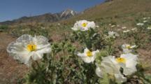 Prickly Poppy, Onion Valley In Eastern Sierras Near Independence, CA