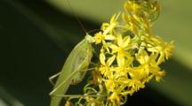 Fork-Tailed Bush Katydid On Bulbine Flowers, Los Angeles, CA