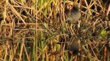 Purple Gallinule, Wakodahatchee Wetlands, Palm Beach County, Florida