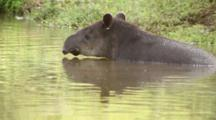 Tapir (Captive) In Water On Farm In Central Costa Rica